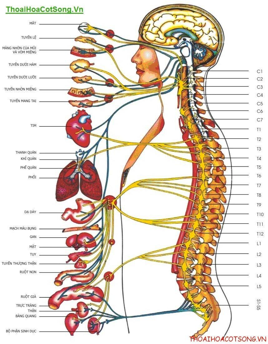 Bệnh thoái hóa cột sống cổ và thắt lưng