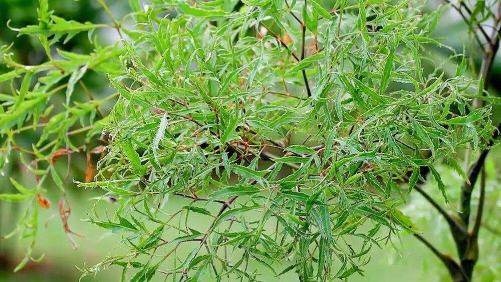 Bài thuốc chữa yếu sinh lý nữ từ cây đinh lăng