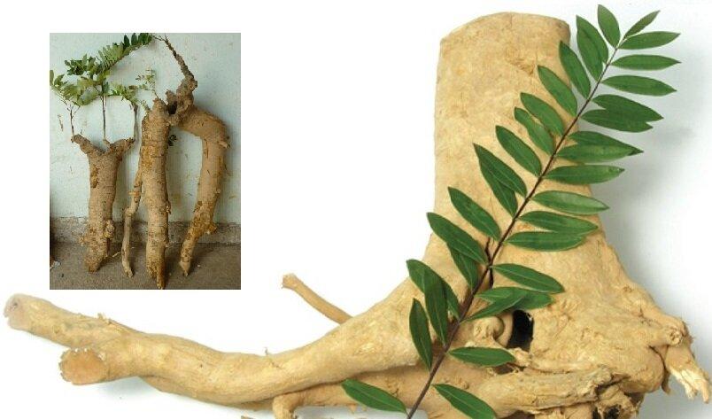 Bài thuốc từ cây mật nhân