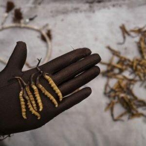 Đông trùng hạ thảo tây tạng là gì ?
