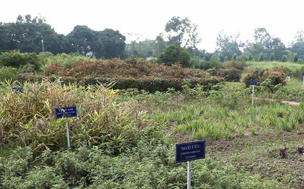 Vườn dược liệu chuyên biệt được trồng theo tiêu chuẩn của Bộ Y Tế