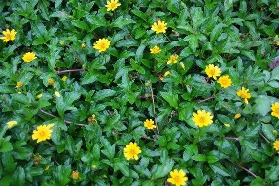 Cây sài đất giúp tẩy độc tiêu viêm