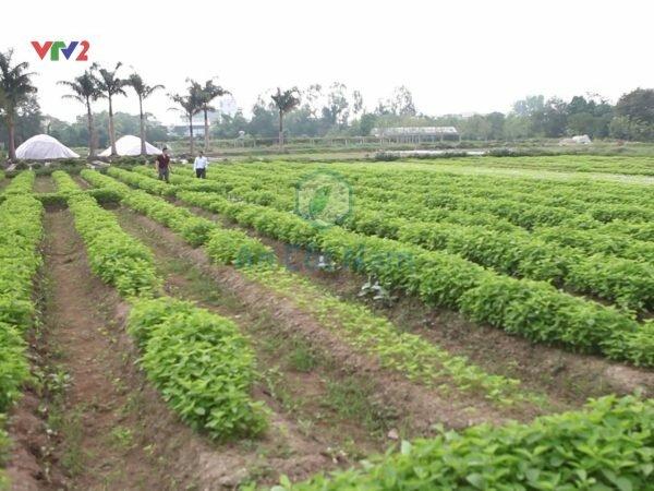 Vườn dược liệu riêng của nhà thuốc Tâm Minh Đường